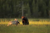 有意思的畫面 (集) -2..8-18-2015:狼熊2-8-19-03.jpg