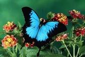 世界蝴蝶大全,終於找齊了,太漂亮了-7-19-2016:640-7-19-021.jpg