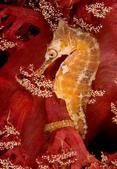 海裡生物,海馬-10-28-2015:2015-08-04_150417-10-28-10.jpg