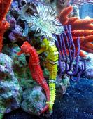 海裡生物,海馬-10-28-2015:2015-08-04_152745-10-28-16.jpg