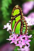 世界蝴蝶大全,終於找齊了,太漂亮了-7-19-2016:640-7-19-06.jpg