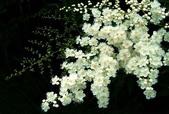 俏麗 珍珠梅 -2-29-2016:2016-02-26_100300-2-28-017.jpg