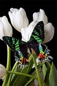 世界蝴蝶大全,終於找齊了,太漂亮了-7-19-2016:640-7-19-015.jpg