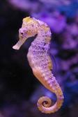 海裡生物,海馬-10-28-2015:2015-08-04_150629-10-28-11.jpg