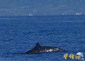 鯨魚:喙鯨2.jpg
