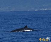 鯨魚:喙鯨.jpg