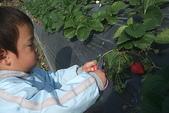 2011 1:2011元旦採草莓 (9).JPG