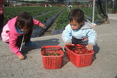 2011 1:2011元旦採草莓 (20).JPG