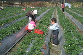 2011 1:2011元旦採草莓 (5).JPG