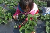 2011 1:2011元旦採草莓 (16).JPG
