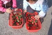 2011 1:2011元旦採草莓 (21).JPG