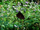 2009-0712-再訪小粗坑古道&石牛山驚險行:08-難得拍到蝴蝶沒在動.jpg