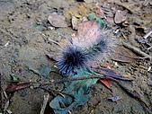 2009-0712-再訪小粗坑古道&石牛山驚險行:09-毛~~毛蟲.jpg