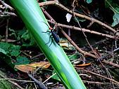 2009-0712-再訪小粗坑古道&石牛山驚險行:10-看起來很兇的蟲.jpg