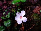 2009-0712-再訪小粗坑古道&石牛山驚險行:04-被遺落的油桐花.jpg