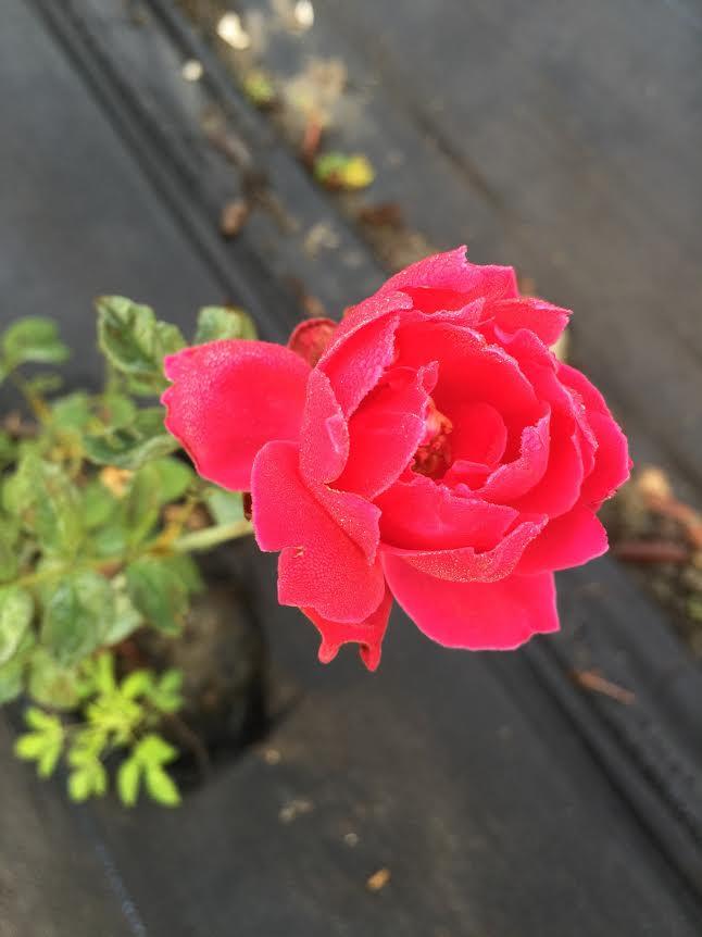 護膚保養:玫瑰1.jpg