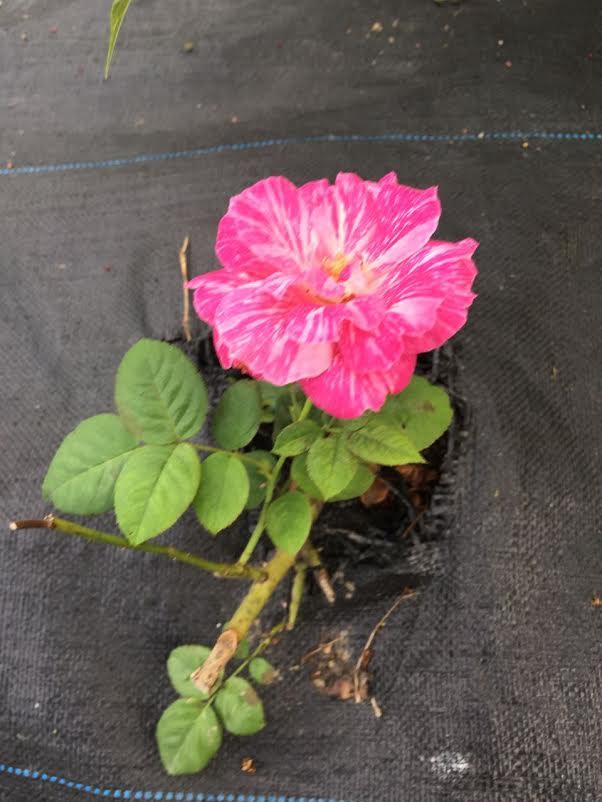 護膚保養:玫瑰6.jpg