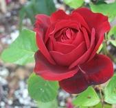 護膚保養:Rose Oklahoma.jpg