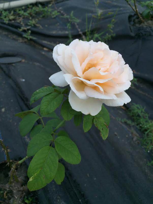 護膚保養:玫瑰8.jpg