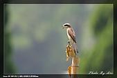 中正賞鳥:IMG_8803.jpg