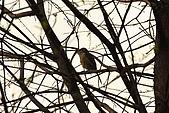 大安森林公園賞鳥:IMG_2917