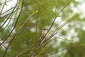 大安森林公園賞鳥:IMG_2925