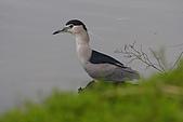 大安森林公園賞鳥:夜鷺