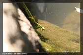 內溝溪生態:IMG_8121.jpg