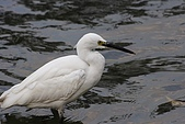 大安森林公園賞鳥:小白鷺