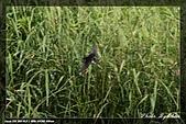 鹿角溪賞鳥:IMG_5473.jpg