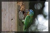 巧遇五色鳥by970710:IMG_2791.jpg