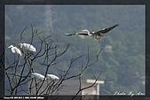 鹿角溪賞鳥:IMG_5496.jpg