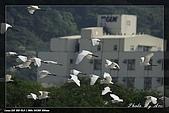 鹿角溪賞鳥:IMG_5506.jpg