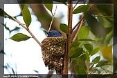 黑枕藍鶲育雛:IMG_5225.jpg
