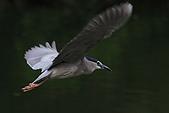 大安森林公園賞鳥:IMG_2960