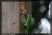 巧遇五色鳥by970710:IMG_2793.jpg