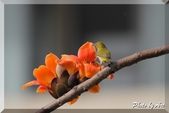 三重 - 栗尾椋鳥:IMG_0969.JPG