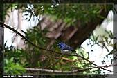 黑枕藍鶲育雛:IMG_5113.jpg
