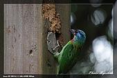 巧遇五色鳥by970710:IMG_2799.jpg