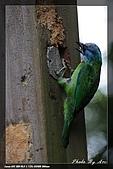 巧遇五色鳥by970710:IMG_2813.jpg