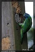 巧遇五色鳥by970710:IMG_2816.jpg