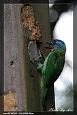 巧遇五色鳥by970710:IMG_2824.jpg
