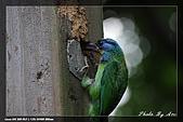 巧遇五色鳥by970710:IMG_2829.jpg
