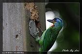 巧遇五色鳥by970710:IMG_2830.jpg