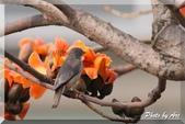 三重 - 栗尾椋鳥:IMG_0952.JPG