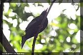 巧遇五色鳥by970710:IMG_2835.jpg