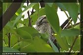 鴞與黑枕藍鶲:IMG_2365.jpg
