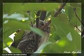 鴞與黑枕藍鶲:IMG_2367.jpg