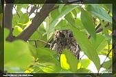 鴞與黑枕藍鶲:IMG_2451.jpg