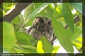鴞與黑枕藍鶲:IMG_2474.jpg